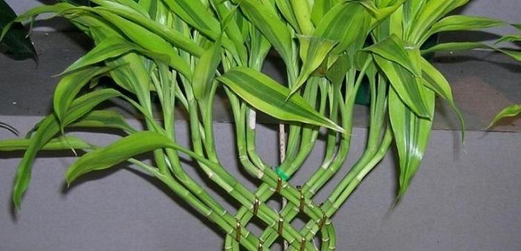 Драцена Сандера - особенности посадки и ухода за растением