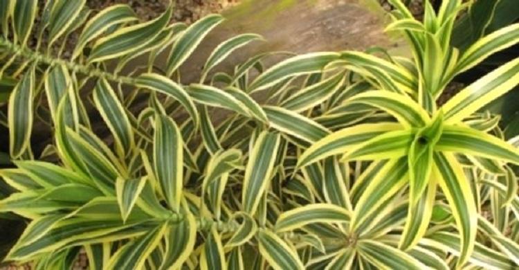 Как ухаживать за комнатным растением - бамбук в домашних условиях