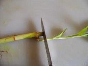 Комнатный бамбук - правила ухода и размножение в домашних условиях