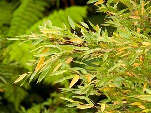 Почему у комнатного бамбука желтеют листья - основные причины