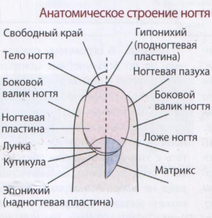 Анатомия ногтя для правильного наращивания гелем своими руками