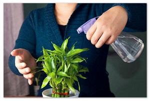 Как вырастить комнатный бамбук дома - правильный полив  и уход