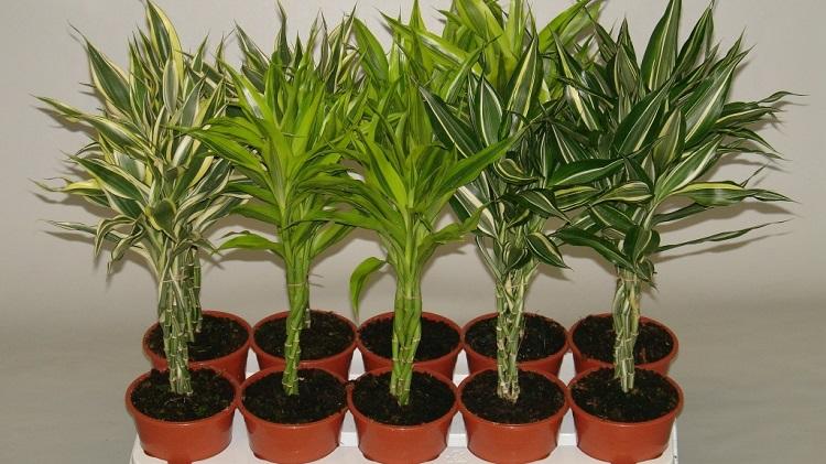 Комнатное растение бамбук - разновидности с фото