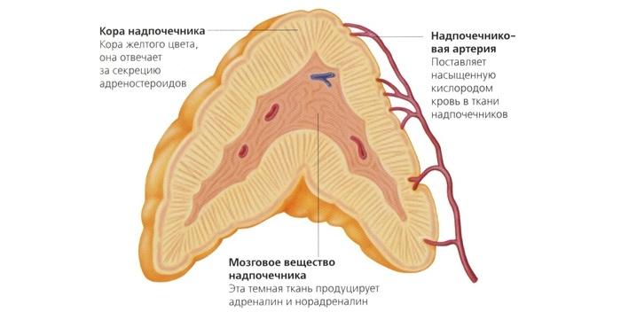 Симптомы заболевания надпочечников у женщин: строение и функции